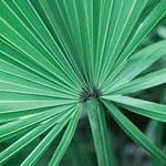 Saw Palmetto can be used to lower DHT for hair loss