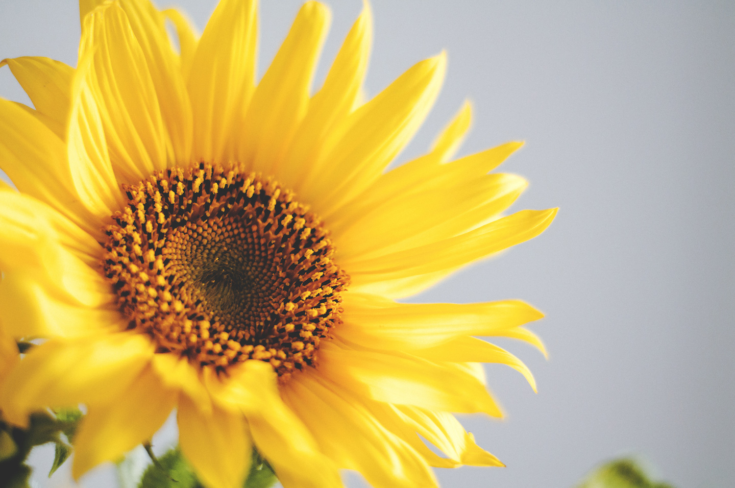 Using Sunflower Oil For Hair Growth And Health